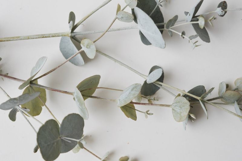 Close-up of eucalyptus leaves against white background