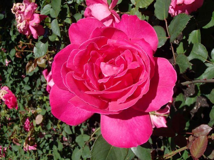 Roses Flower Flowering Plant Beauty In Nature Petal Freshness Fragility Plant Pink Color Inflorescence Close-up Rosé Rose - Flower