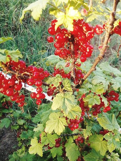 Red Nature Plant
