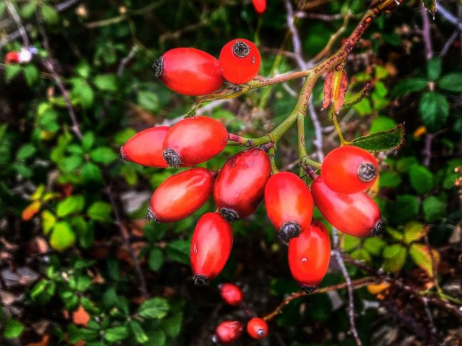 Autumn Autumn Colors Food And Drink Autumn Fruits Beauty In Nature Branch Floral Focus On Foreground Food Food And Drink Freshness Fruit Fruits Growth Hip Homeopathy Outdoors Red Red Fruits Red Hips Rosa Rosa Canina Rosa Canina Hips Wild Rose Wild Rose Hip