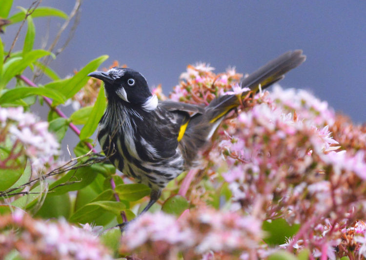 New Holland Honeyeater with Jade flowers in the background Honeyeater Animal Themes Animals In The Wild Beauty In Nature Bird Close-up Flower Flower Head Flowering Plant Nature One Animal Outdoors Perching Plant EyeEmNewHere