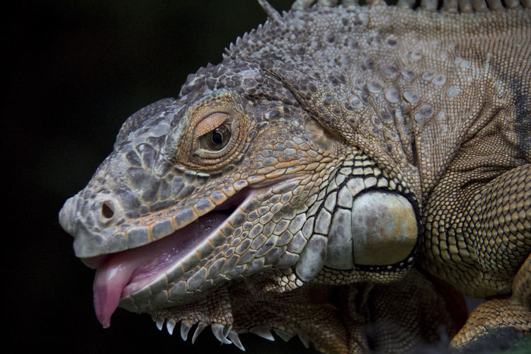 Nature Outdoors Lizard Iguana Reptile Close-up Animal Themes One Animal Animals In The Wild Animal Wildlife