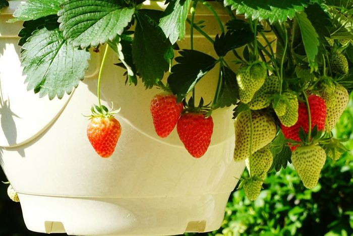 Fruit Fraises Fraisier Plantes Jardin