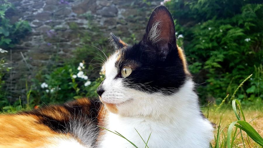 Domestic cat laying on the lawn Cute Domestic Cat Feline Feline Portraits Calico Cat Fur White Ginger Domestic Animals Garden Photography Garden Grass Eyes Low Angle View Portrait Beautiful Hunter Calico Black Kitten Side View Ear Whisker Lazy Summer Water Tree Close-up Sky Blade Of Grass