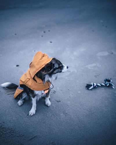 High angle view of dog on the beach with toy