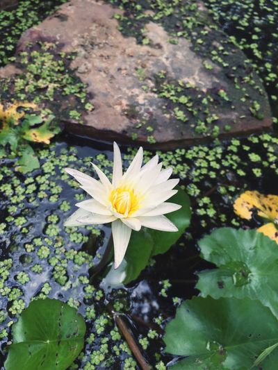 Lotus Flower Flower Petal Fragility Flower Head Nature Growth Beauty In Nature Freshness Leaf White Color Plant Blooming Outdoors Day No People Close-up Water Lily Water