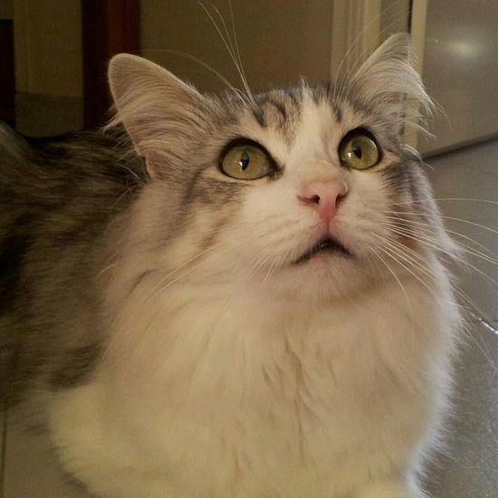 Sweet Oscar. Cat Pet Love Nice Lovely