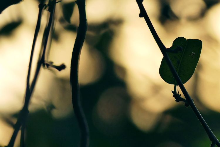 Solitary background Backgrounds Evening Plant Solitary Focus On Foreground Leaves Morning Light Nature No People Solitary Sunlight Sunlight And Shadow Sunset อากาศร้อน ใบไม้ ใบไม้ร่วง