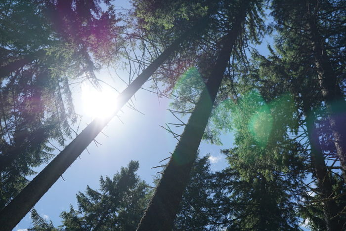 Tree Sunbeam Forest Nature Back Lit Sunlight Tree Trunk Sun Growth Outdoors WoodLand Pinaceae No People Sky Green Color Day Beauty In Nature Summer Nofilter First Eyeem Photo Beauty In Nature Growth Nature Plant Landscape