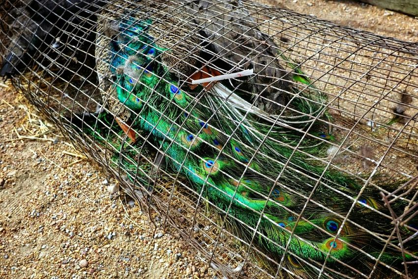 Does this peacock look squished in this cage? Auction Sale Peacock Feathers What Does Freedom Mean To You? Birds Cruelworld Photojournalism Rural America From My Point Of View Check This Out A Day In The Life