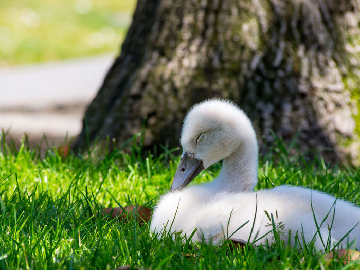 Close-up of swan on grass