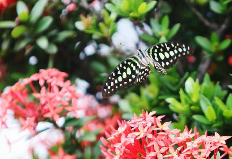 Butterfly flying over red ixora