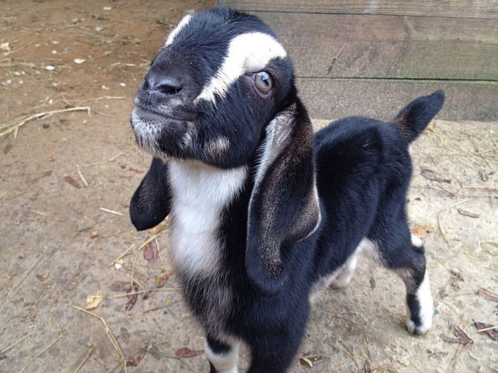 Lovable Pets Lovable Serenityacres Serenitygoats Animal Smile Lovable Pets! Newborn Babygoat Hello World Cute Pets Animal_collection Animal Photography Goatfarm Goat Goat Life It's Me Farmersonly