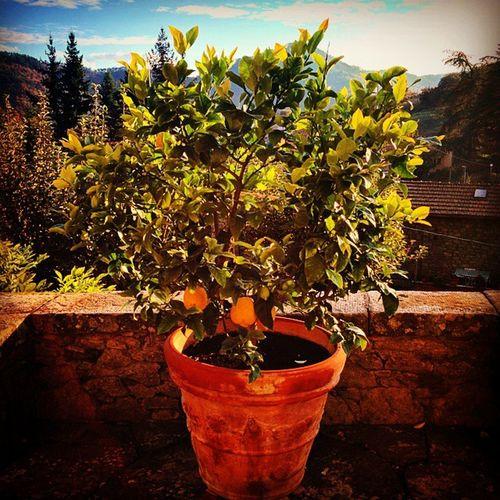 The Lemon Tree at Villa G, Ponte alla Piera, Tuscany, Italy Ponteallapiera Tuscany Toscana Italy