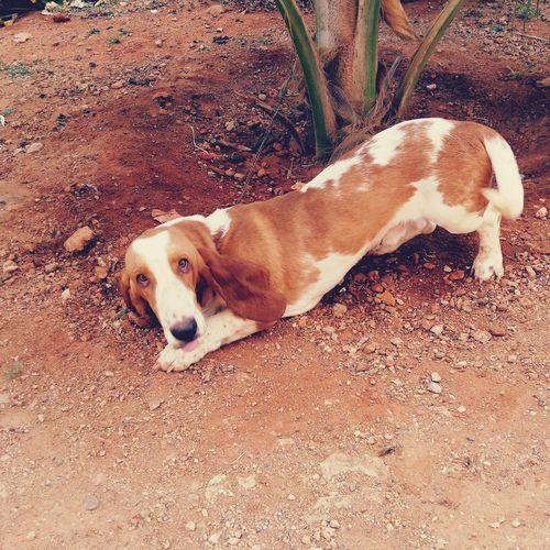 #Hound #bassethound #Hushpuppies #mansbestfriend #bassethound #justforfun Beagle Sand Lying Down Close-up First Eyeem Photo