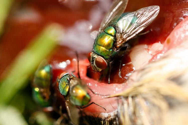Close-up of houseflies feeding on dead animal