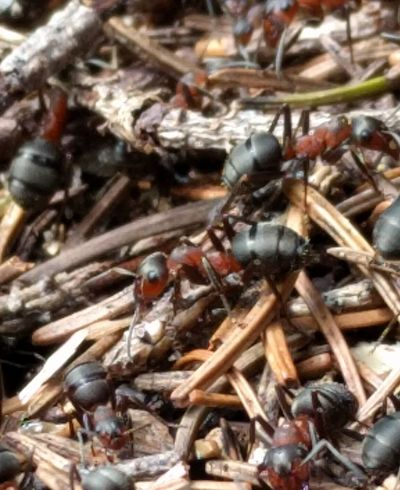 A bugs life 🐞 No People Close-up Day Outdoors Nature Animal Themes Ants Phonography  Nexus 5x Ants Colony Switzerland Crawling Crawling Insects Ants Nest Antslife Ants Life