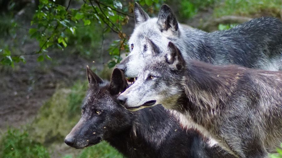 Close-up of wolves