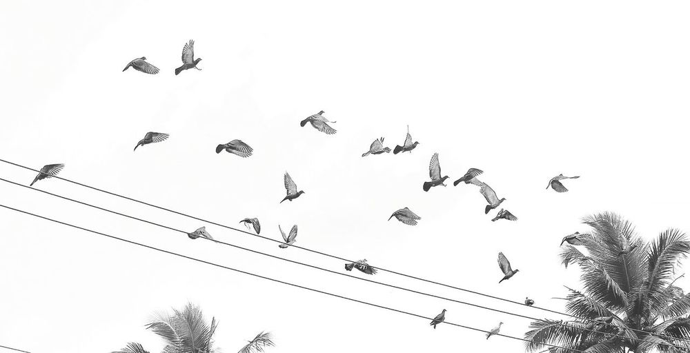 Animal Themes Animals In The Wild Flying Bird Low Angle View Wildlife Flock Of Birds Spread Wings Freedom Power Line  Vertebrate Zoology Animal Behavior Togetherness Cable Migrating Perching Motion Connection Clear Sky Monochrome Photography The Week On Eyem DSLR Photography The Week Of Eyeem Indiaphotoproject