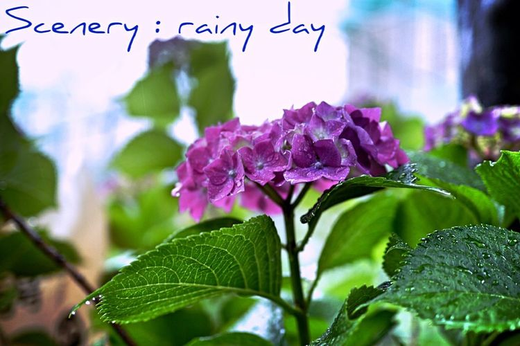 Ame no fuukei : How's The Weather Today? Rainy Day In My Garden City Of Flower Nagasaki City Flower Porn Beautiful Nature / realtime feed. Eyefi mobi + fotor edit Lumix GX1 Good evening EyeEm_crew Music's Inspiration!