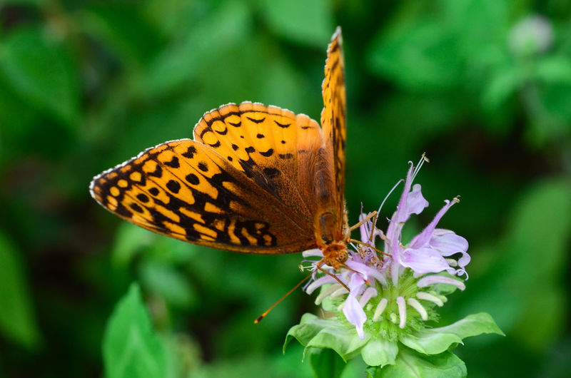 Close-up of butterfly pollinating on flower