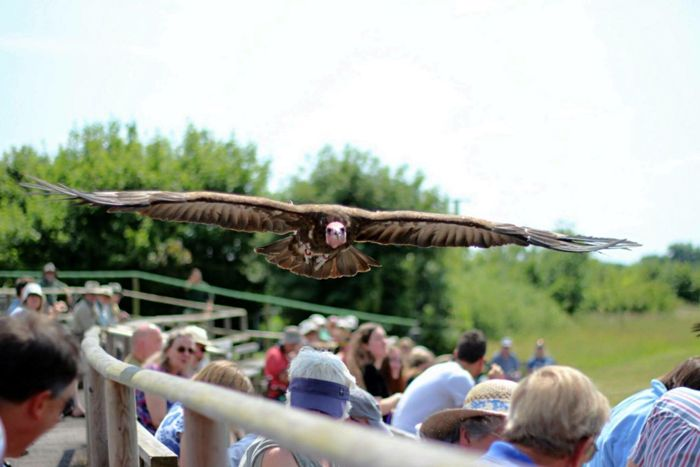 Vulture flying over the crowd. Large Group Of People Flying Spectator Watching Sky Audience Spread Wings Vulture Birdofprey Bird EyeEmNewHere Crowd Nature Outdoors Eye4emotions EyeEm Nature Lover Photography