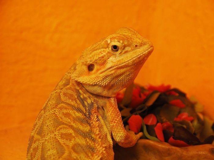 Close-up of lizard on orange flower