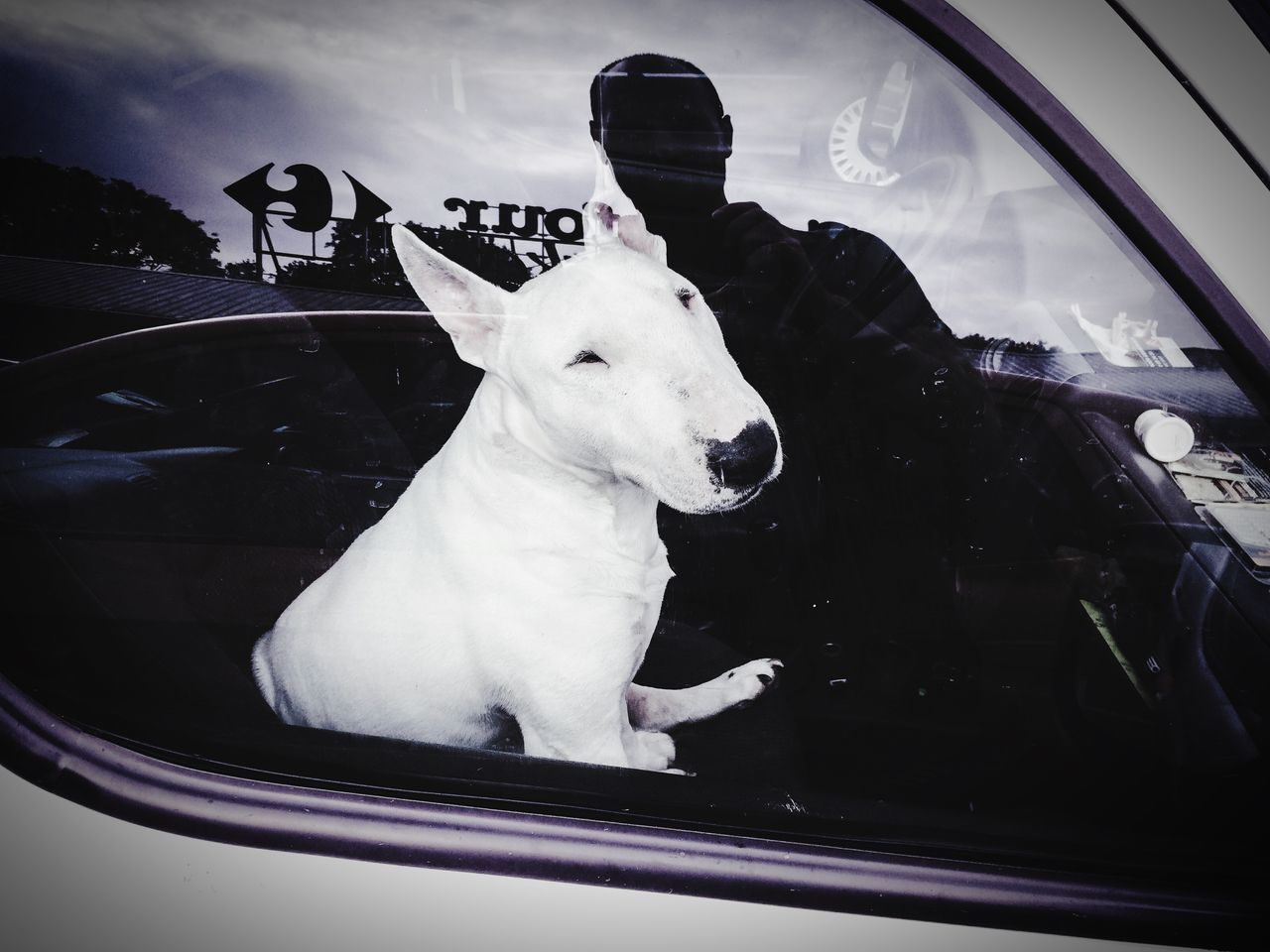 Reflection of man on glass window with bull terrier sitting in car