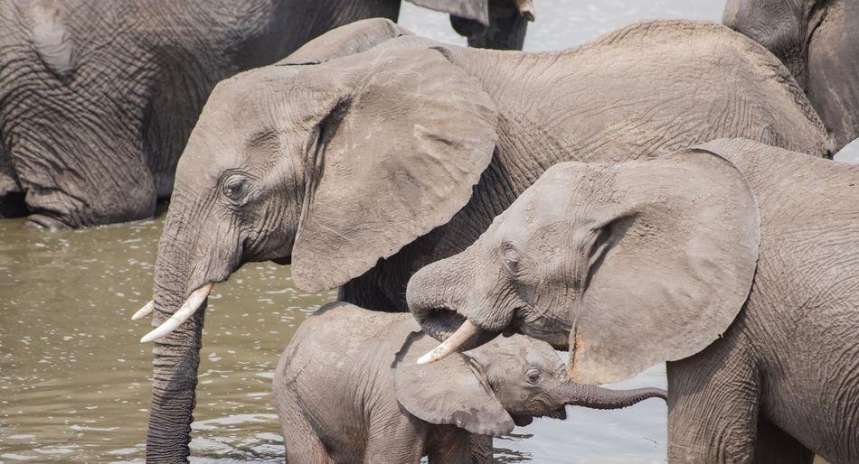 Elephants standing in lake