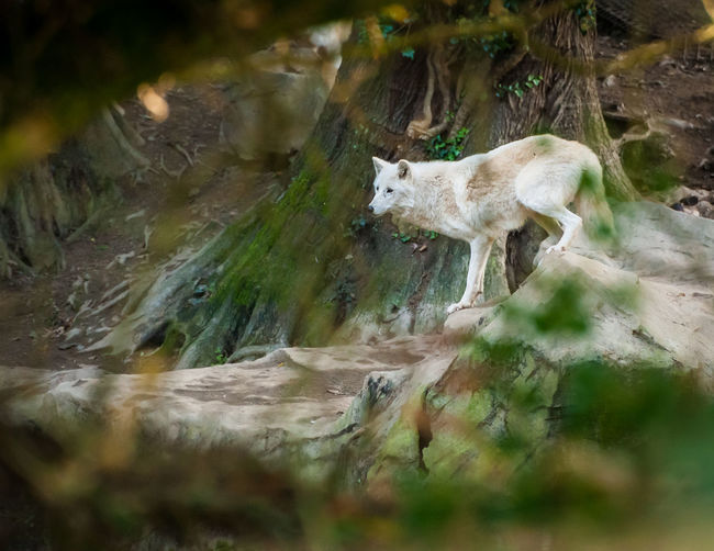 White Wolves Animal Themes Animal Wildlife Animals In The Wild Day Mammal Nature No People One Animal Outdoors Water White Wolves Wolves In Forest