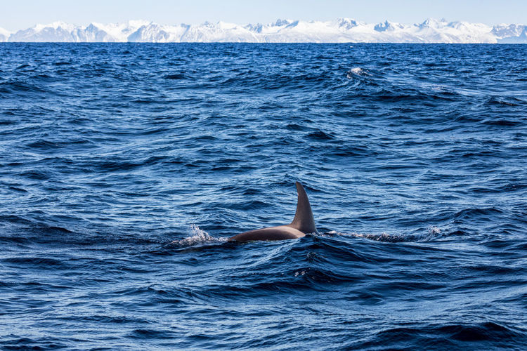 Adventure Animal Fin Animals In The Wild Aquatic Mammal Awsome Beauty In Nature Day Fun Killer Whale Mammal Nature Nature The Great Outdoors - 2017 EyeEm Awards Norway Orca Outdoors Outdoors Photograpghy  Sea Sea Life Swimming Vesterålen Water Whale Whale Safari Whale Watching