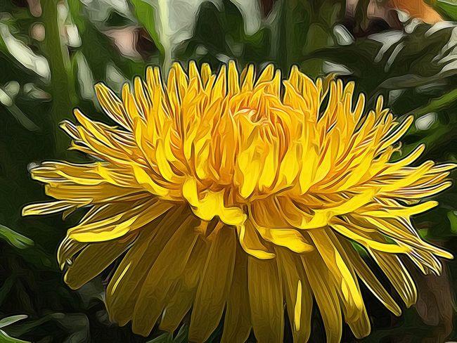 Dandelion Yellow Yellow Dandellion Sunshine In A Flower Yellow Flower Spring Digital Art Beautiful Weeds