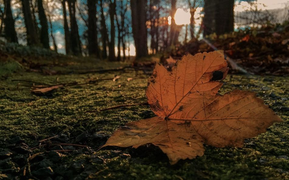 Fallen... Sunshine Nature Golden Hour Iphone 6 Showcase: December Scotland Sunny Days Sunflare Fall Autumn Autumn Leaves Low Perspective