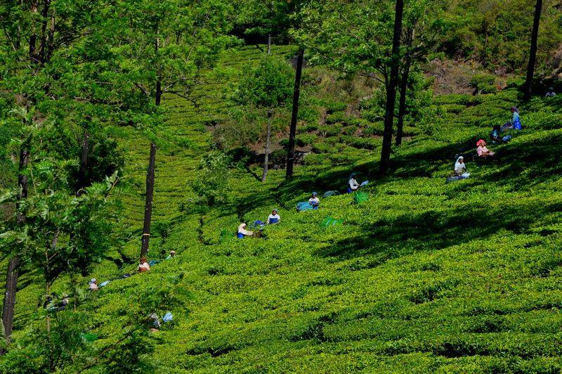 People working at tea plantation