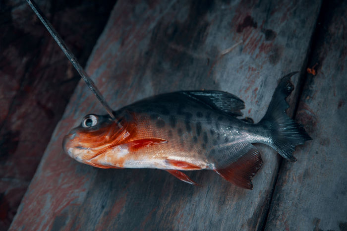 When you go Piranha fishing in the Amazon. Close-up Food And Drink Travel South America Latin America Adventure Fishing No People Fish Animal Animal Themes Vertebrate Danger Profile View Sea Life Marine Nature Animals In The Wild Seafood Animal Wildlife Water One Animal Sea Knife Kill