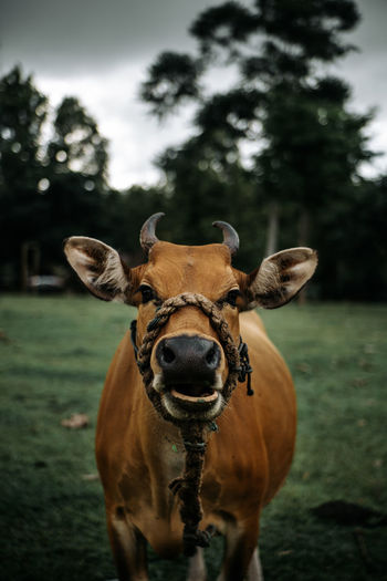 Cow eat today