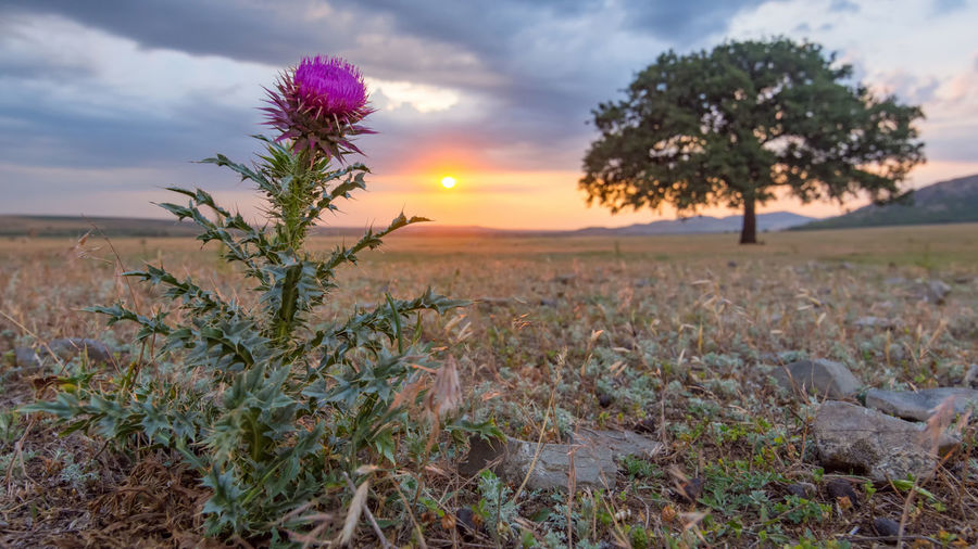 Flowering plant on field against sky during sunset