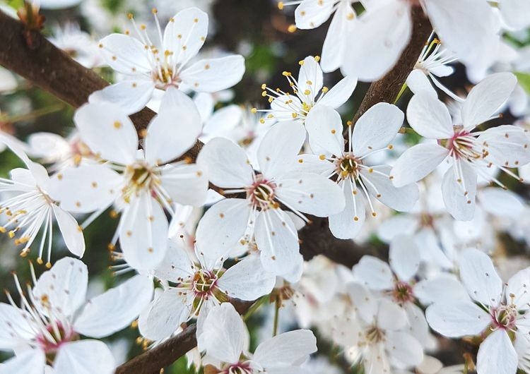 Nature Growth White Color Flower Close-up Outdoors Beauty In Nature No People Flower Head Branch Plant Fragility Blossom Petal Springtime Nature_collection Nature_perfection Nature Photography Flowers_collection Flowers, Nature And Beauty Nature Beauty In Nature Freshness