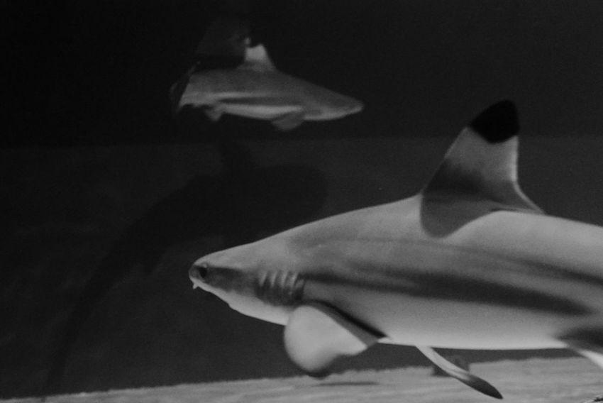 鮫 Sharks Swimming Animal Themes Aquarium Aquarium Photography Black And White Monochrome Light And Shadow Indoor Hello World Enjoying Life Taking Photos 水族館 サンシャイン水族館 Sunshine AquariumTokyo, Japan