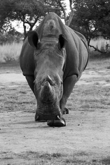 Christon Bank Thetford Farm Threatened Species Zimbabwe Animal Themes Animal Wildlife Animals In The Wild Close-up Day Dust Field Full Length Interest Looking At Camera Mammal Nature No People One Animal Outdoors Portrait Rhinoceros Safari Animals Sunset Tree White Rhino