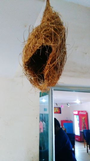 The Baya(Babui)Weaver Birds Nest At Rambha,Odisha