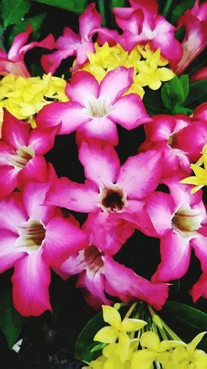 Full Frame Freshness Pink Flower 🌸 Asoka Kuning Beautiful Colors Flower Photography Close-up