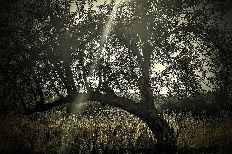 Apple Tree Sun Ray Through The Tree Tree Silhouette Outdoors Branch Shadow Nature Beauty In Nature Day Light Beam Sunlight Obscured Lost In The Landscape Field Grass The Week On EyeEm Sun Tranquility Tree Shine Bright No People Sky Light Effect Rural Scene