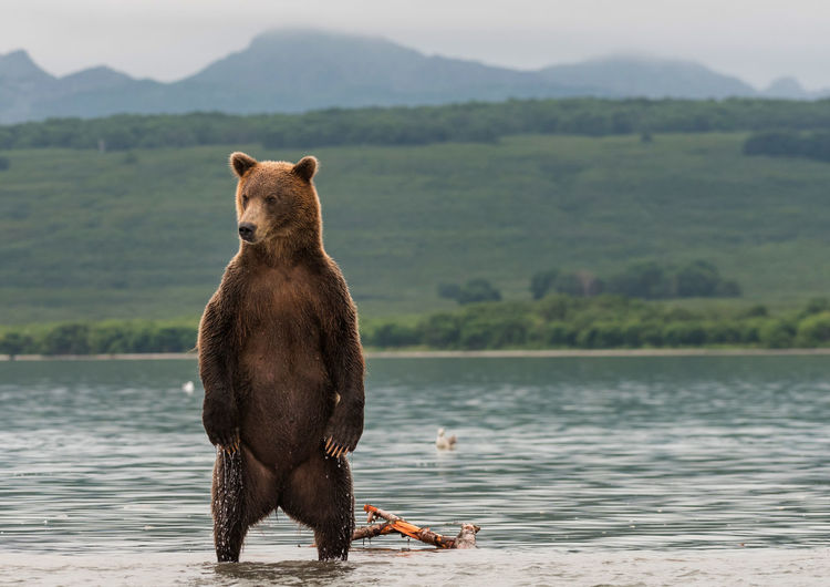 Bear Against Lake During Foggy Weather