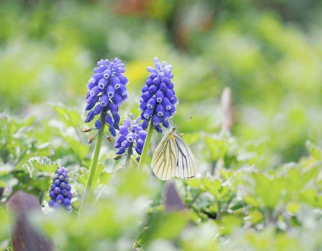 雨の日が続いてますが、ココロに優しい一日を… 日だまり Springtime Butterfly Flower Collection EyeEm Nature Lover Butterfly - Insect 蝶々 ムスカリ EyeEm Gallery Eyemphotography My Point Of View EyeEm Best Shots Insect Low Angle View Beauty In Nature Nature EyeEm Best Shots - Nature Green Nature