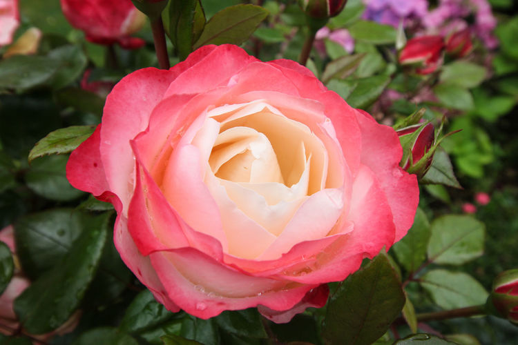 Treslaig Beauty In Nature Blooming Close-up Day Flower Flower Head Fragility Freshness Growth Leaf Nature No People Outdoors Petal Pink Color Plant Rose - Flower Rose Petals Springtime