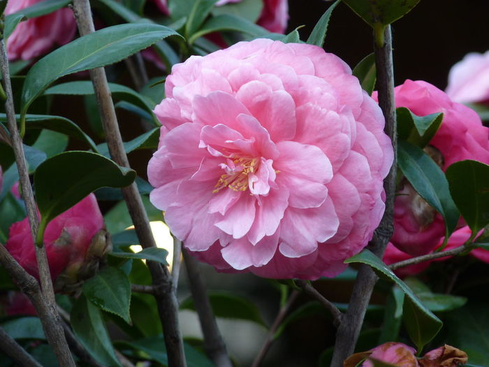Camellia Camellia Camellia Japonica Beauty In Nature Camellia Flower Camellia Flowers Close-up Day Flower Flower Head Flowering Plant Focus On Foreground Fragility Freshness Growth Inflorescence Leaf Nature No People Outdoors Petal Pink Color Plant Plant Part Springtime Vulnerability