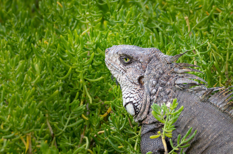 Portrait of a iguana Animal Themes Animal Animals In The Wild Animal Wildlife One Animal Reptile Vertebrate Green Color Plant No People Lizard Nature Iguana Grass Day Close-up Growth Animal Body Part Focus On Foreground Outdoors Animal Head  Animal Scale EyeEmNewHere