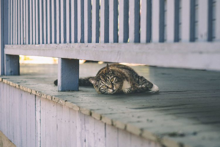Portrait Of Tabby Cat Relaxing On Porch