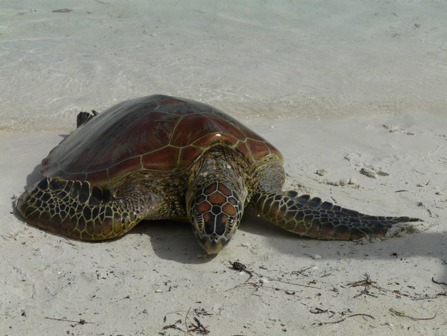 Animal Themes Animal Wildlife Animals In The Wild Beach Close-up Day High Angle View Nature No People One Animal Outdoors Reptile Sand Sea Sea Life Sea Turtle Swimming Tortoise Tortoise Shell Turtle Water